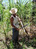 Burton Caliz sugar cane 2
