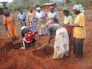 Kimole intensive cultivation